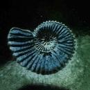 Ammonite cast in blue glass